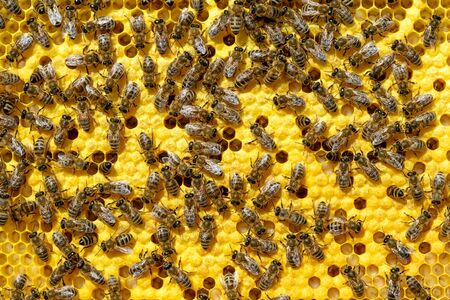 As bees grow and heat a new generation of bees. Apis mellifera worker are in honey bee colony they foraging food for bee larva. Hardworking Bees on Honeycomb in Apiary.