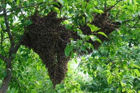 Ways of breeding bees by swarms. A swarm of bees sitting down on a branch of a tree.