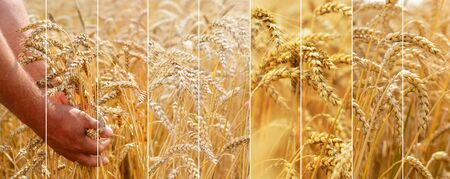 Photo collage of spikelets of ripe wheat. The agronomist in the wheat field holds ripe wheat bread wheat in his hands. The concept of farming.