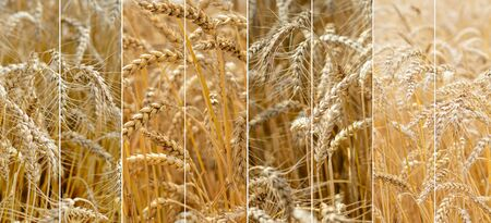 Photo collage of spikelets of ripe wheat. The concept of farming. Harvest concept.