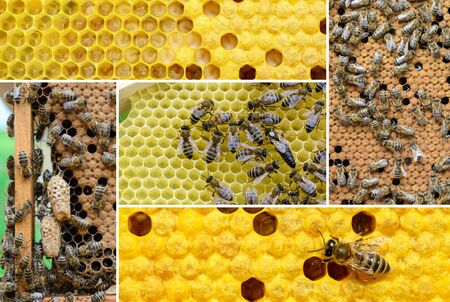 Reproduction of bees. How bees multiply. Photo collage on bee breeding. Beekeeping concept. 写真素材