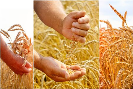 The agronomist in the wheat field holds ripe wheat bread wheat in his hands. The concept of farming. 写真素材