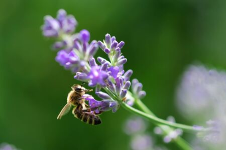 Honey bee on lavender flower. Honey bee is collecting pollen. Pollination of plants by bees Stock Photo