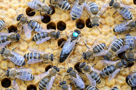 Queen bee is always surrounded by the workers bees - their servant. Queen bee lays eggs in the cell.