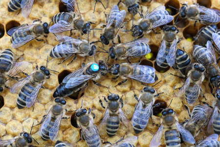 Queen bee is always surrounded by the workers bees - their servant. Queen bee lays eggs in the cell