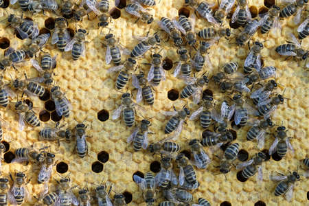 Bees work on a wax cell with larvae. honeycomb with small larvae of bees. Apis mellifera worker are in honey bee colony they foraging food for bee larva. Hardworking Bees on Honeycomb in Apiary.