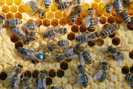 Bees inside a beehive with the queen bee in the middle. Queen bee lays eggs in the cell. Macro photo.