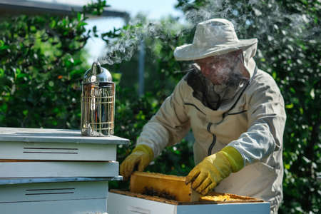 Beekeeper on apiary. Beekeeper is working with bees and beehives on the apiary. Apiculture.