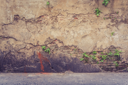 creeping fig: tree on old antique brick wall, vintage wall