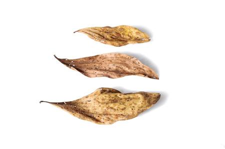 full of holes: dry leaf full of holes isolated on white background