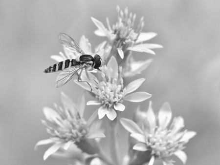 syrphidae: Spilomiya eyed (Spilomyia diophthalma), a family of flies, hoverflies (Syrphidae) on flower, black and white Stock Photo