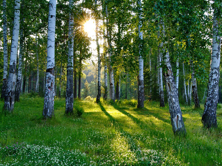 summer trees: Birch trees in a summer forest at the sunset lit by bright warm light breaking through the trees.