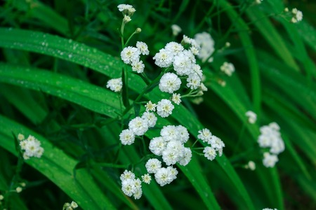 underbrush: Delicate white flowers of yarrow in the grass