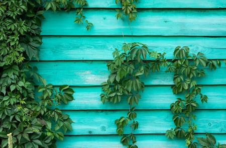 Colorful background of wooden planks with ivy. Texture of wooden wall