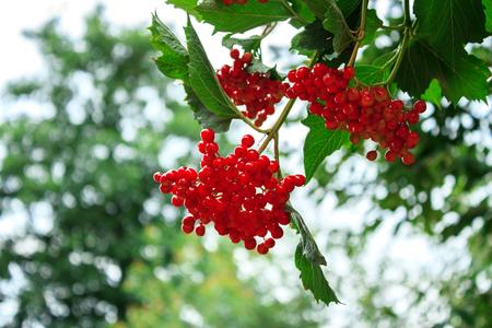 sorb: Bunches of red rowan. The rowan matures
