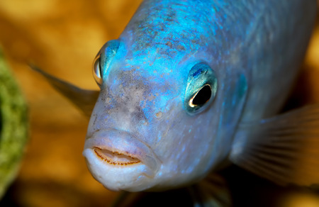 quarium fish close-up. cichlid predator with teeth in mouth Stock Photo