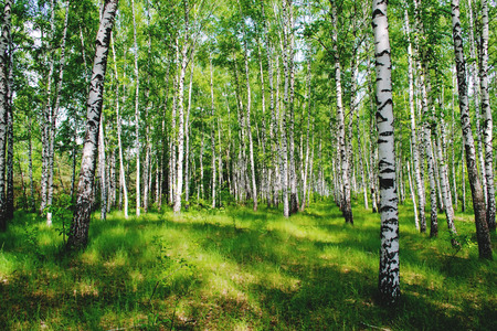 A picture of a birch grove illuminated by the rays of the spring sun Stock Photo