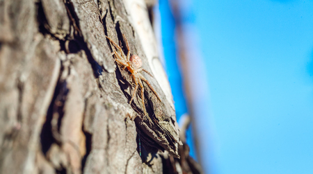 A mysterious world. Little spider skillfully hiding on the bark of a tree. Pine tree, sheltered in its bark spider. A predator waiting for a prey. Spider basking in the spring sunshine. Stock Photo