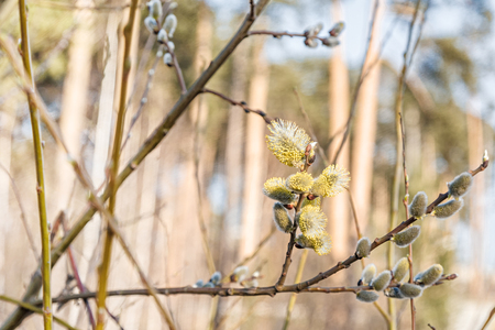 Spring willow. Blossoming buds. A symbol of new life, growth and purity. Bright sunlight. Outing with the whole family. Clean fresh air in spring forest.