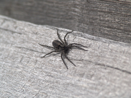 The black spider. Small spider on a wooden surface. A few watchful eyes. Preparing to grasp prey. The fine hairs on grasping paws. Stock Photo