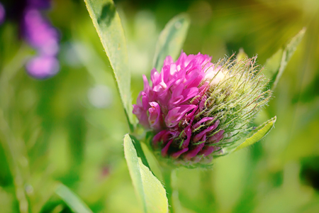 red clover: Red clover. Stock Photo