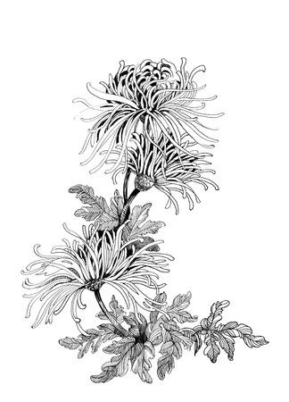 手描きの菊