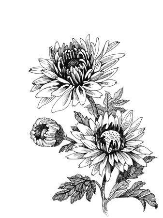 Hand-drawing chrysanthemum