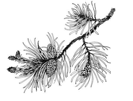 arbol de pino: Rama de pino con conos