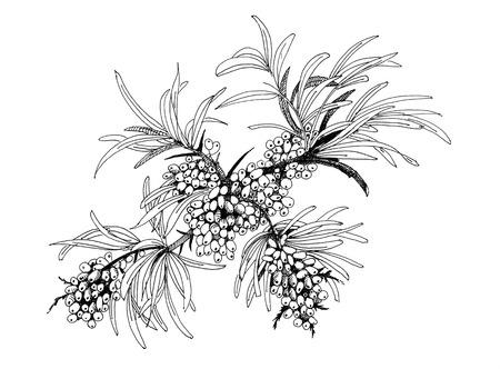buckthorn: Buckthorn berries illustration