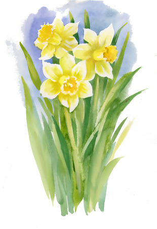 Watercolor narcissus on white