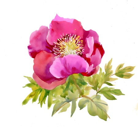 Watercolor Peony on white Vector