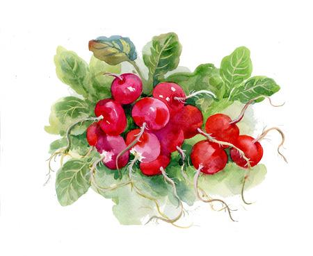 raddish: Red watercolor raddish on white background