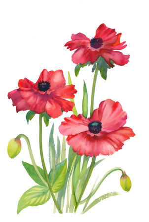poppy flowers: Poppy flowers illustration on white background Stock Photo