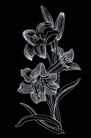 Hand drawn lily flowers isolated on black background photo