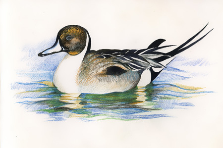 Wild duck. picture Illustration