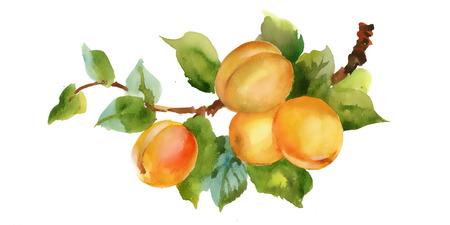 Schöne Aquarell Pfirsiche Abbildung auf weißem Hintergrund Standard-Bild - 35806570
