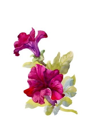 petunia: Watercolor petunia on white background Illustration