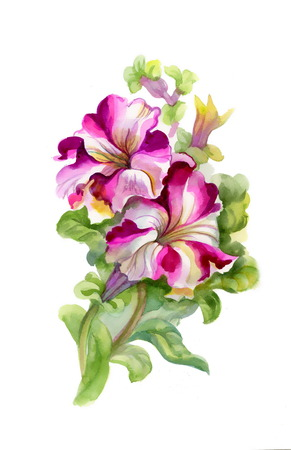 petunia: Watercolor petunia on white background Stock Photo