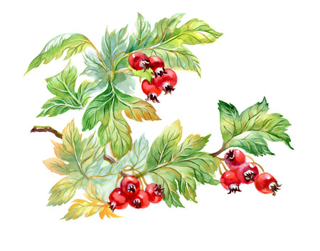 ethnographic: Watercolor painting of hawthorn branch isolated on white background Illustration