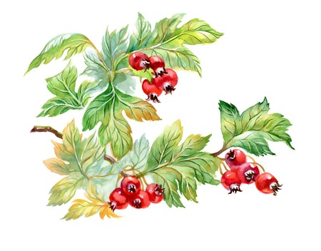 ethnographic: Watercolor painting of hawthorn branch isolated on white background Stock Photo