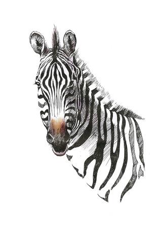 Watercolor zebra isolated on white background Stock Illustratie