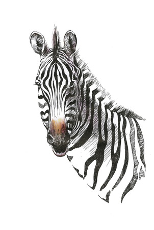 Watercolor zebra isolated on white background Vectores