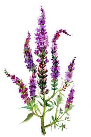 field of flower: Acquerello campo fiore viola