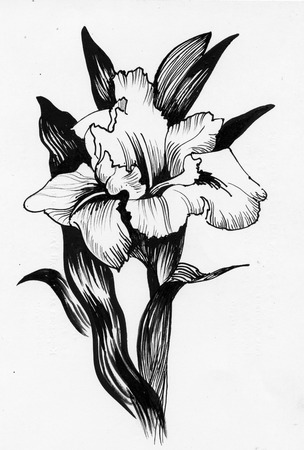 tone shading: Beautiful iris painted in watercolor