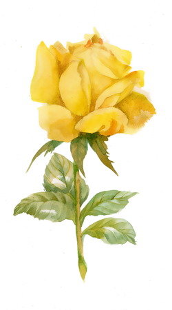 rose flowers: Watercolor yellow rose