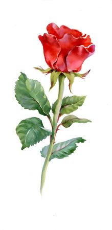 Red rose 일러스트