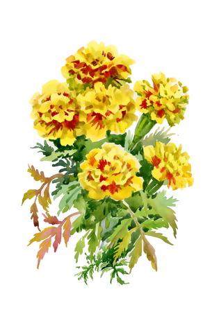 tagetes: Tagetes flowers