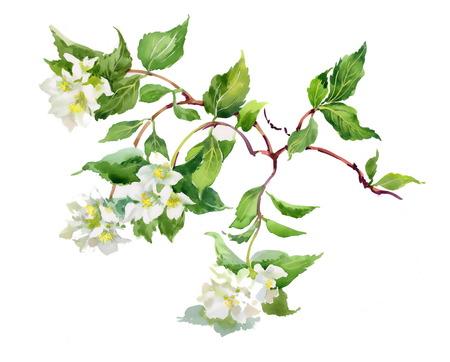 tree jasmine: Spring branch Illustration