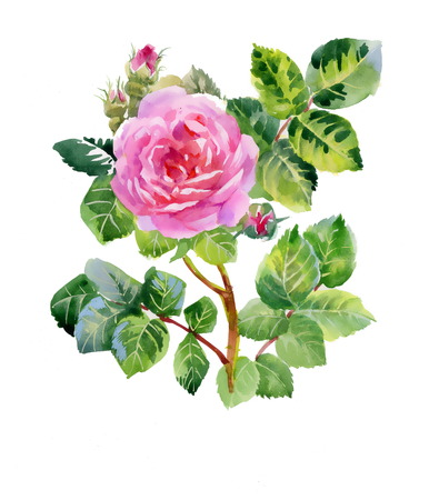 Pink rose bud with green leaves Illustration