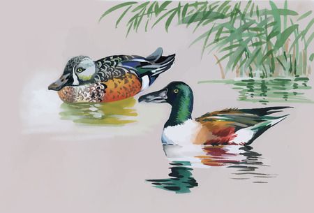 water fowl: Geese flock swimming on pond watercolor vector illustration.